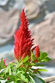 image of celosia  - One red celosia flower with bokeh background - JPG