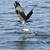 foto of osprey  - Osprey Catching Fish In Florida Lake - JPG