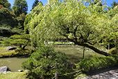 stock photo of weeping willow tree  - Japanese Garden in Seattle WA. weeping willow tree with pond.