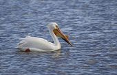 stock photo of winnebago  - An American White Pelican Close up on Lake Winnebago in Wisconsin - JPG