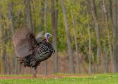 image of wild turkey  - Strutting male wild turkey displaying in the spring mating season - JPG