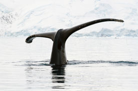 picture of whale-tail  - humpback whale tail showing during the dives in Antarctic waters - JPG