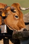 pic of trough  - picture of a cow drinking from a drinking trough - JPG