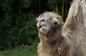 image of hump day  - Head of camel while eating some grass - JPG