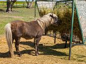 pic of horses eating  - A Brown Shetland Pony Eating Hay out of a Horse Feeder - JPG