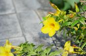 picture of trumpet flower  - Beautiful yellow flower Golden trumpet vine Yellow bell  - JPG
