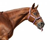 picture of tongue licking  - Funny horse licks his lips - JPG