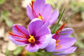 foto of lilas  - Close up of saffron flowers in a field - JPG