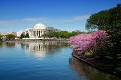 stock photo of cherry blossoms  - Jefferson national memorial with cherry blossom in Washington DC - JPG