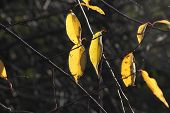 stock photo of ash-tree  - Ash Trees Leaves of Yellow with sunlight casting shadow - JPG