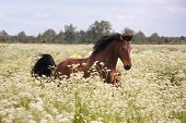 foto of horse-breeding  - Beautiful latvian bay horse galloping at the field with flowers
