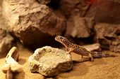 stock photo of terrarium  - Lizard next to plate of water at terrarium - JPG