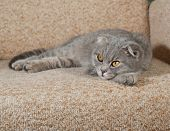 pic of scottish-fold  - Scottish fold gray cat lying on brown couch - JPG