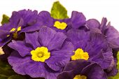 pic of primrose  - purple spring primroses on a white background - JPG