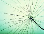 pic of dandelion seed  - Abstract macro photo of dandelion seeds with water drops - JPG