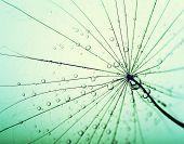 stock photo of dandelion seed  - Abstract macro photo of dandelion seeds with water drops - JPG