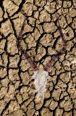 stock photo of drought  - Double exposure of an impala skull over cracked dried earth due to a world drought and climate change - JPG