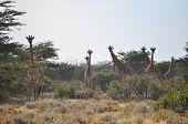 image of mimicry  - herd of giraffes in the Masai Mara in Africa - JPG