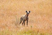 stock photo of hyenas  - Free hyena on the African savannah in Kenya - JPG