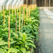 stock photo of cultivation  - Cultivation of sweet pepper in plant nursery  - JPG