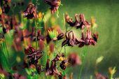foto of columbine  - Vintage Aquilegia vulgaris  - JPG
