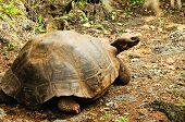 image of tortoise  - giant turtle or tortoise from Galapagos Ecuador - JPG