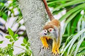 stock photo of fanny  - Common Squirred Monkey in its natural habitat in the wild - JPG