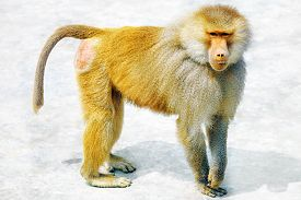 picture of chimp  - Hamadryas Baboon Monkey in its natural habitat of the wild - JPG