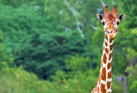 foto of graff  - An image of a giraffe from the middle of the neck up - JPG
