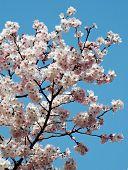 image of cherry-blossom  - Cherry blossom against blue sky  - JPG