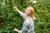 Woman Hold Ripe Apple Tree Background. Farm Producing Organic Eco Friendly Natural Product. Girl Gat poster