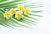Frangipani on palm leaf isolated on white