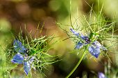 Flowers Of Love-in-a-mist. Gently Blue Flowers Of Ragged Lady. N poster