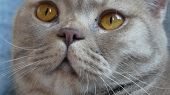Close Up. Beautiful Scottish Fold Cream Tabby Lop-eared With Big Yellow Eyes. Cute Funny Cat Is Lyin poster