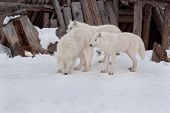 Three Wild Alaskan Tundra Wolves Are Playing On White Snow. Canis Lupus Arctos. Polar Wolf Or White  poster