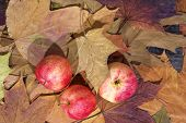 Red Apples On Yellow Autumn Leaves Background poster