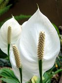 Spathiphyllum floribundum, origin from Central America tropical forrest
