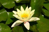 foto of water lily  - A yellow lily and green pads on a pond - JPG