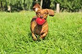 A Dachshund Dog Runs With The Ball. A Dog Of The Breed Is A Standard Smooth-haired Dachshund, The Co poster