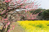 nature, botany, gardening and flora concept - close up of beautiful blooming sakura tree at park poster