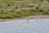 Adult Gray Heron Standing In Shallow Water With Two Swimming Adult Cormorants Nearby. poster