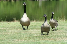 image of honkers  - three geese charge at a bystander who threatens them  - JPG