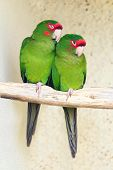 Two Mitred Parakeet