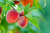 image of peach  - Delicious peaches growing on a peach tree branch - JPG