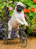 stock photo of tricycle  - This cute eight week year old pug puppy is riding a tricycle in its beautiful and lush back yard - JPG