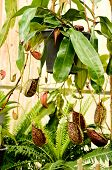 picture of nepenthes  - nepenthes or pitcher plants or monkey cups - JPG