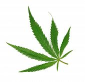foto of maryjane  - marijuana leaf on isolated on white close up - JPG