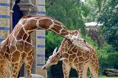 pic of terrestrial animal  - The giraffe  - JPG