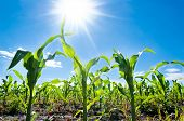 stock photo of serbia  - Young corn field close - JPG