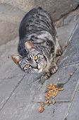 pic of spayed  - Feeding Stray Cats - A spayed gray cat eating.  Taking responsibility for cats